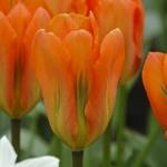Тюльпаны Оранж Имперор
