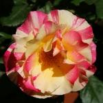 Розы Эмиль Дебруа