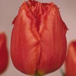 Тюльпаны Фроста