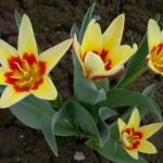 Тюльпаны Корона