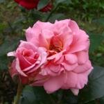 Розы Штеффи Граф