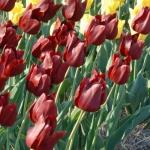 Тюльпаны Кровавая Мэри
