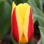 Тюльпаны Стреса
