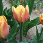 Тюльпаны Ла Бель Эпок