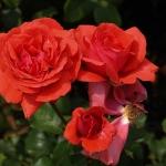 Розы Дюфтволк
