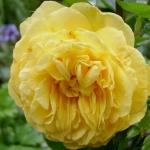 Розы Выборг