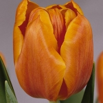 Тюльпаны Кристмас Оранж