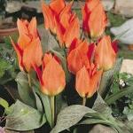 Тюльпаны Флауэрдэйл