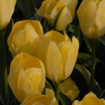 Тюльпаны Истер Мун