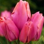 Тюльпаны Хэппи Фэмили