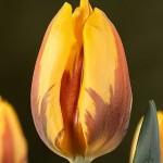 Тюльпаны Принцесс Маргрит