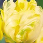 Тюльпаны Йоко Пэррот