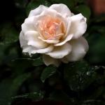 Розы Окланд Метро