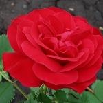 Розы Хуманити