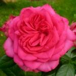 Розы Маритим