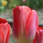 Тюльпаны Биг Чиф