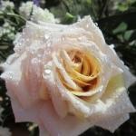 Розы Крим Карамель