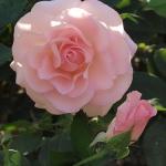 Розы Лейс