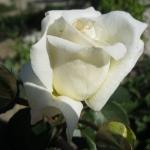 Розы Шнивальцер