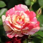 Розы Токаде