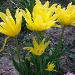Тюльпаны Йеллоу Спайдер