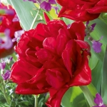Тюльпаны Элизабет