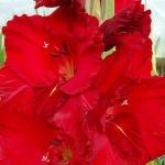 Гладиолусы Красная Бабочка