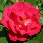 Розы Бургхаузен
