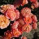 Розы Мария Кюри