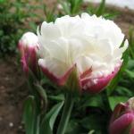 Тюльпаны Айс Крим