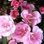 Розы Шоне Дортмундерин