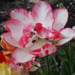 Тюльпаны Белиция