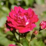 Розы Леди Ридинг