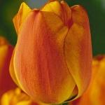 Тюльпаны Йеллоу Даун