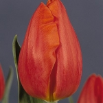 Тюльпаны Фрохлейтен