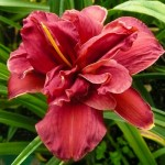 Daylily Double Firecracker