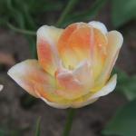Тюльпаны Оранж Анжелик