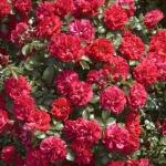 Розы Продиж Экарлате