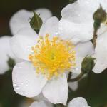 Розы Сноу Гус