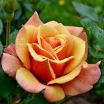 Розы Белле Епок