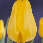 Тюльпаны Эарли Йеллоу