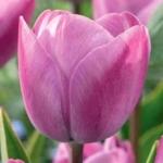Тюльпаны Роял Ту