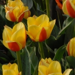 Тюльпаны Одиа
