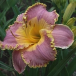 Daylily Spacecoast Easy Rider