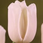 Тюльпаны Сильверадо