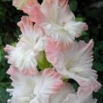 Гладиолусы Розовая Дымка