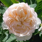 Розы Троилус