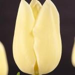 Тюльпаны Сити оф Ванкувер