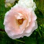Розы Рококо