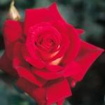 Розы Клеопатра